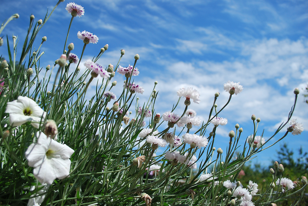field of white and purple flowers on a summer day