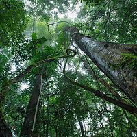 In the dense tropical rainforests of Borneo, plants struggle to compete for their share of the sunlight. As little as 2% of sunlight reaches the forest floor. Sabah, Malaysia.