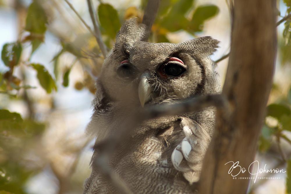 A giant eagle owl (Bubo lacteus) resting.<br /> Moremi, Botswana.<br /> September 2007.