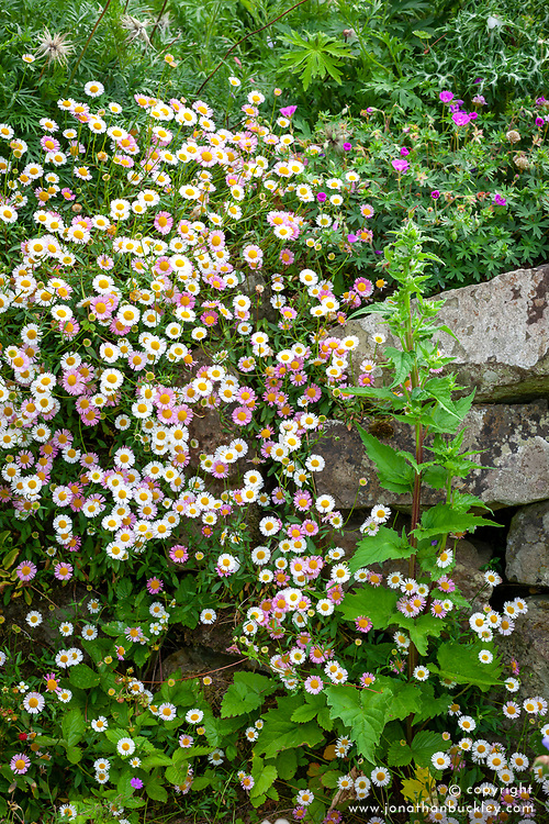 Erigeron karvinskianus - Mexican daisy, Mexican fleabane - growing in a wall
