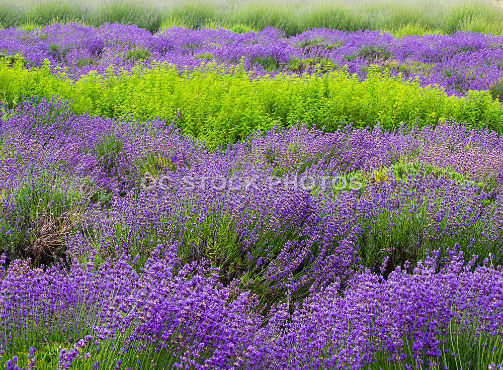 Fresh Lavender at 123 Farms at Highlands Ranch & Inn in Cherry Valley Ca