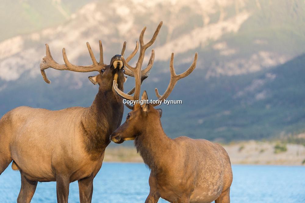 bull elk sparing