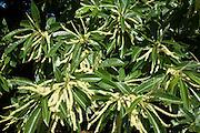 Castanea sativa, sweet chestnut tree, flowers and leaves