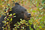 Black bear at sunrise in fall colors (20101009)