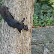 This black squirrel was out for an afternoon stroll in Fort Tryon Park in New York City