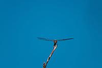 Dragonfly, Kwando Concession, Linyanti Marshes, Botswana.