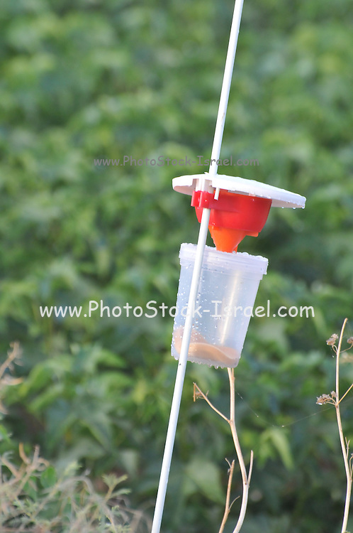 A pest trap in a cotton plantation. These types of environmentally friendly traps reduce the quantity of pesticides used to combat pests. Photographed in Israel, Haifa Bay