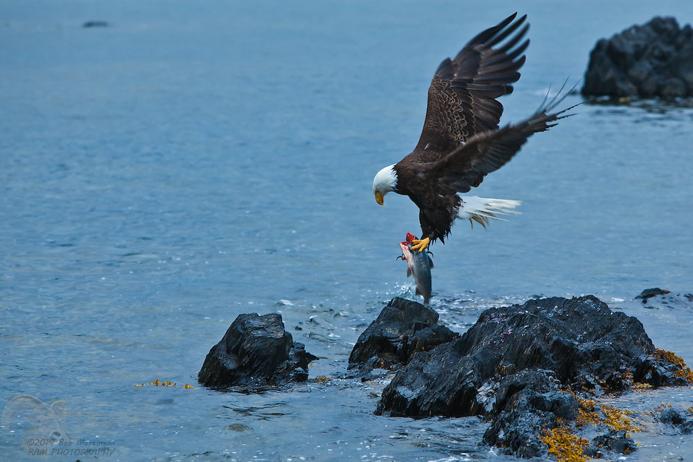 An adult bald eagle takes a sockeye salmon from the waters of Prince William Sound, Alaska, near Falls Bay.