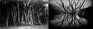 (L) Banyan fig on Borneo Island, Sarawak, Malaysia..(R) Drowned forest exposed because of drought, Batang Ai Reservoir, Sarawak (Borneo), Malaysia.  Batang Ai Dam Project forced 3,000 Iban Dayak people to .relocate while flooding 8,500 hectares of their forest homeland..