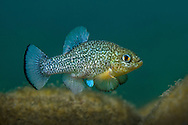 Comanche Springs Pupfish (displaying male)<br />