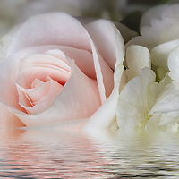 A single rose with white flowers in a pool of water.