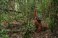 Niko, a adult flanged male, on the forest floor<br /> <br /> Bornean Orangutan <br /> Wurmbii Sub-species<br /> (Pongo pygmaeus wurmbii)<br /> <br /> Tuanan Field Site<br /> Tuanan Orangutan Research Project<br /> Mawas Conservation Area<br /> Central Kalimantan Province<br /> Island of Borneo<br /> Indonesia