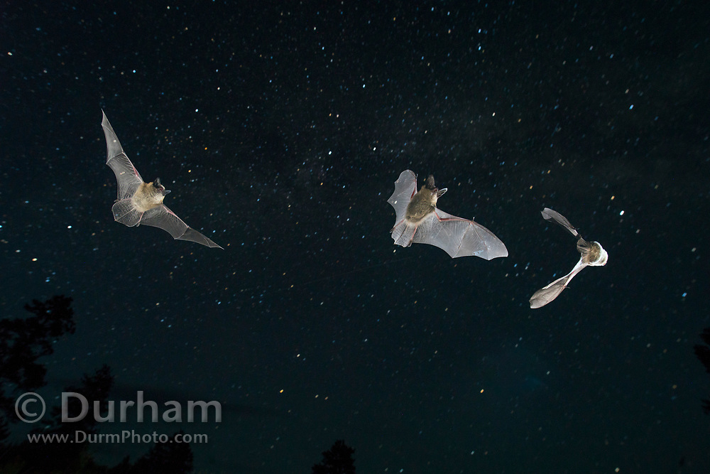 Bats (myotis sp) flying against the night sky. Central oregon. Single exposure image. © Michael Durham.