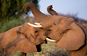 Two young elephants (Loxodonta africana) fighting in Samburu National Reserve, Kenya.