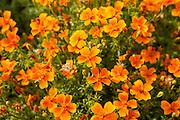 Flowers at Botanic Gardens in Cheyenne, WY.