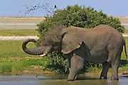 NAMIBIA, ETOSHA NATIONAL PARK..CC Africa Afro Ventures game drive around Etosha Pan. Elephant bull..(Photo by Heimo Aga)