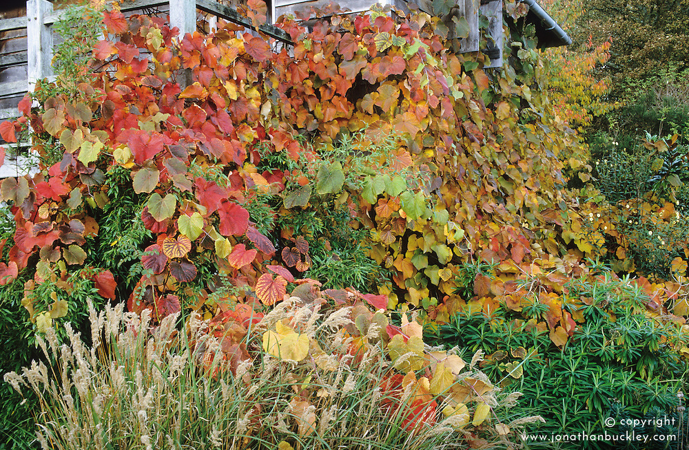 Vitis coignetiae growing on the oast house in autumn