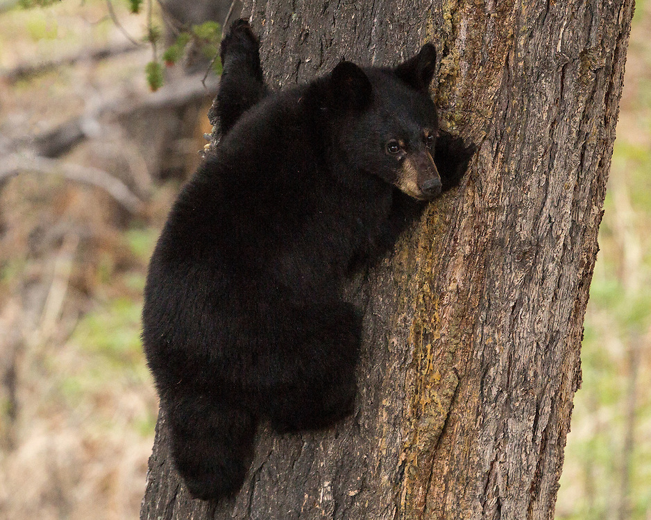 A young black bear cub climbs a tree in Yellowstone National Park.