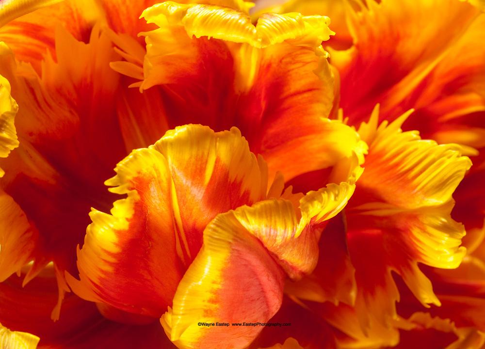 Parrot Tulip-204
