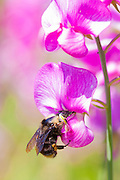 A bumblebee reaches in to harvest nectar from deep inside a sweet pea (Lathyrus odoratus) flower in Discovery Park, Seattle, Washington.
