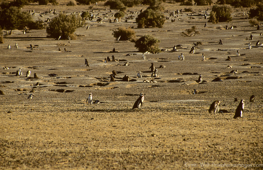 South America, Argentina, Punta Tombo. Nesting grounds of the Magellenic Penguins.