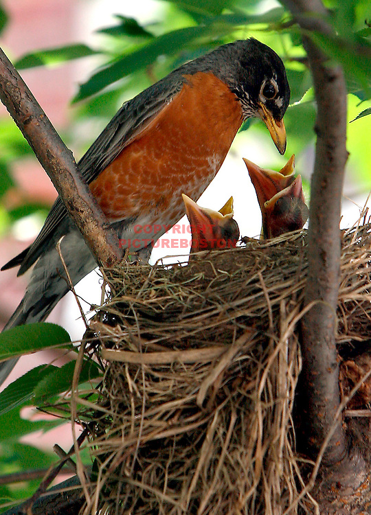 A mother robin tends to her chicks in a nest next to the front steps of the Massachusetts State House.