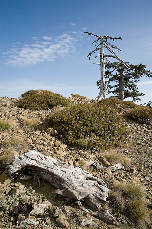 Greece, Pindos Mountains, Pindos NP, Valia Calda, old dry pine trees on top of the hill