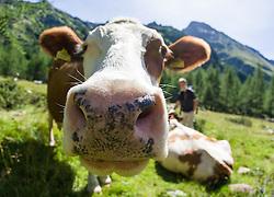 """THEMENBILD - Nach dem wiederholten Angriff von Kühen auf Wanderer ruft die österreichische Landwirtschaftskammer zu höchster Vorsicht auf und warnt vor """"unberechenbaren"""" Kühen. Unser Bild Kuh (Rasse Pinzgauer) blickt in die Linse des Fotografen (Weitwinkelaufnahme), Aufgenommen am 10. August 2008 im Kalser Dorfertal. EXPA Pictures © 2014, Photographer: EXPA/ Johann Groder"""