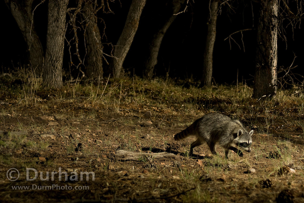 A raccoon (Procyon lotor) walks along a game trail leading to a watering hole, near Grand Canyon National Park, Arizona.