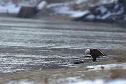11 February 2017:  A Bald Eagles (Haliaeetus leucocephalus) works at having a fish lunch on the bank of the Illinois River at Starved Rock State Park in Illinois