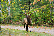 Bull elk in fall habitat in northern Wisconsin