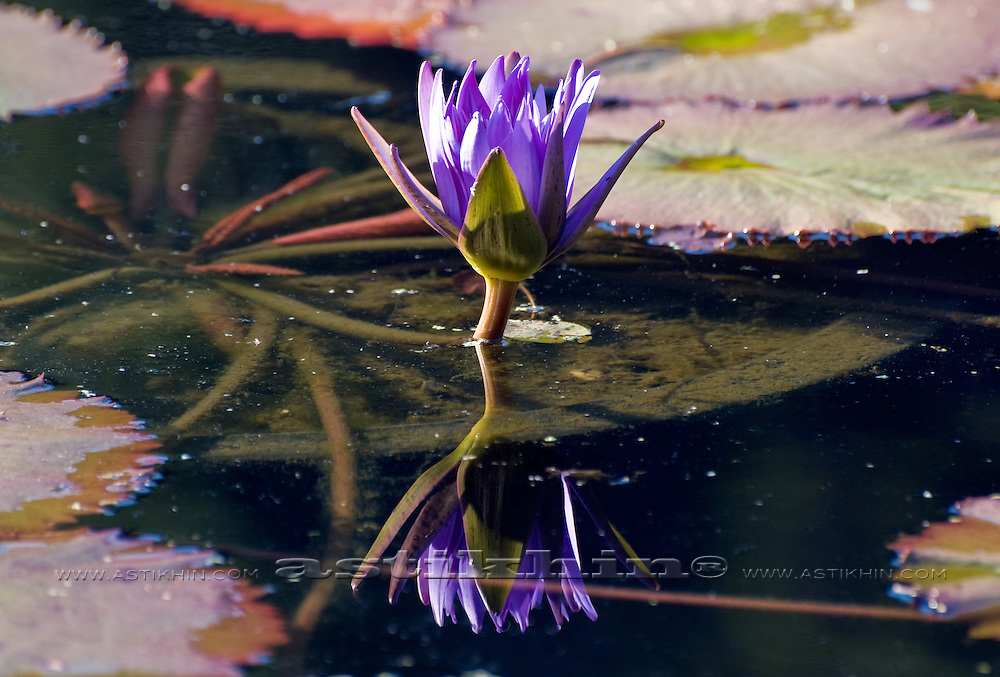 Reflection of Lotus