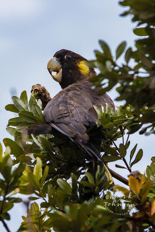 Yellow-Tailed Black Cockatoo (Calyptorhynchus funereus) in a banksia tree