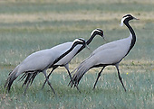 Demoiselle Crane, Anthropoides virgo