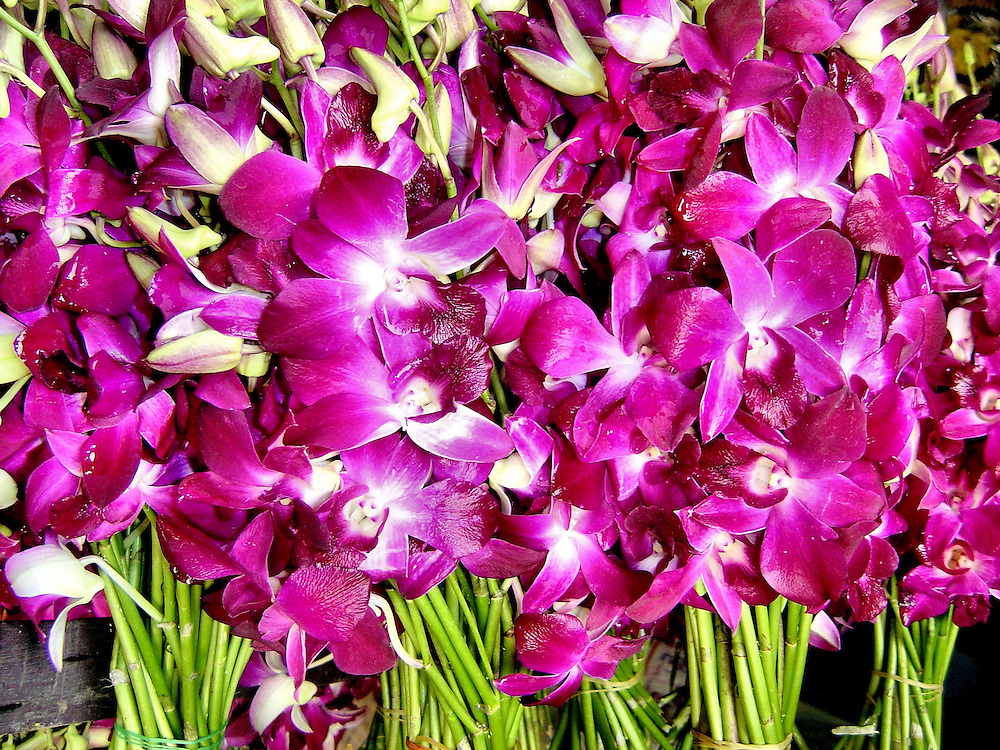 Dendrobium Orchids at Pak Khlong Talat Flower Market in Bangkok, Thailand<br /> There are over 180 species of the Dendrobium orchid grown in Thailand and more than 1,200 across Asia probably because they are very adaptable to different climates and elevations.  But what they have in common is their beauty.  That is why they are so popular among commercial buyers who you&rsquo;ll see snapping them up at the Pak Khlong Talat Flower Market in Bangkok.  This genus is also highly exported for the home enthusiasts around the world.