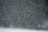 Snow swirling in front of a dark spruce forest, Maine.