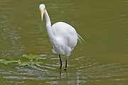 Great Egret, Florida, North America