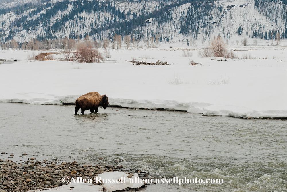 Bison, bull, (bison bison), Lamar River, Yellowstone National Park