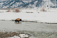 Bison, bull, (bison bison), Lamar River, Yellowstone National Park