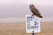 A Short-eared Owl (Asio flammeus) Ridgefield NWR.