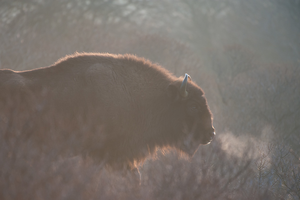 European Bison (Bison bonasus) showing breath cloud on a cold morning