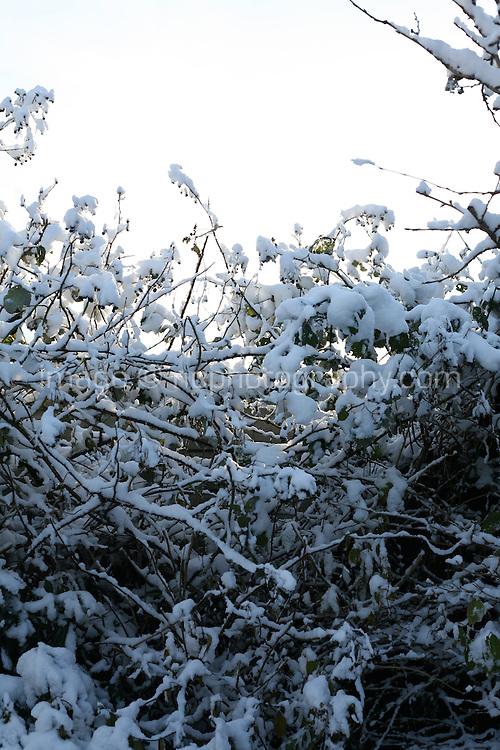 Snow covered hedgerow in Dublin Ireland November 2010
