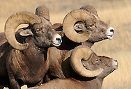 Three bighorn rams size each other up at the onset of the autumn rut.  As the season progresses, the largest of the rams will clash in violent head-butting contests to determine which of the few will have the right to breed.