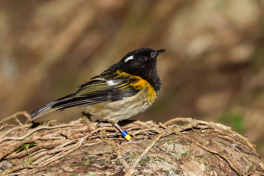 Although the stitchbird is found in most forest-types, it requires mature forest for breeding as it nests in tree cavities.