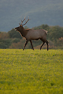 This is a younger buck elk in PA displaying himself for the females despite the other larger males with more impressive antlers.