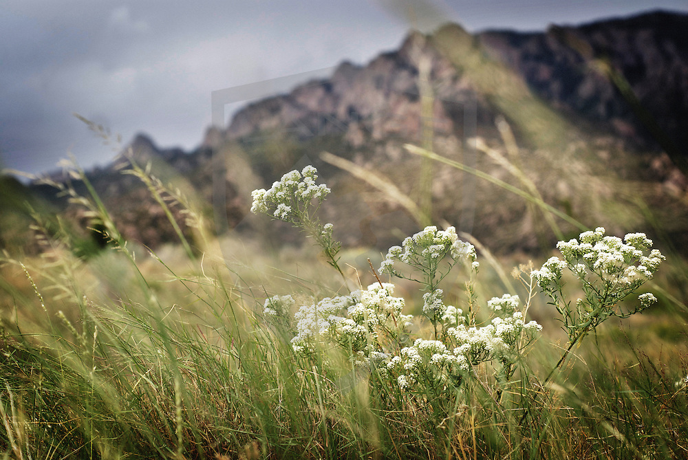 white wildflowers bloom in the summer season in the sandia mountains of albuquerque new mexico, bowing in the breezy afternoon.  considered an urban wilderness, the sandia mountains offer beautiful scenery and natural wonder to those who partake their offerings.  selective focus