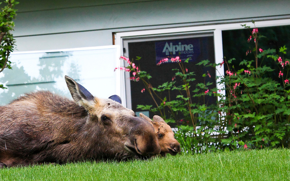 Mama Moose laying down in residential yard with one twin