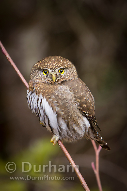A Northern Pygmy Owl (Glaucidium gnoma) near the Clackamas River in the Mount Hood National Forest, Oregon.