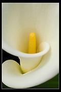 White Calla on a black background, Yellow stem