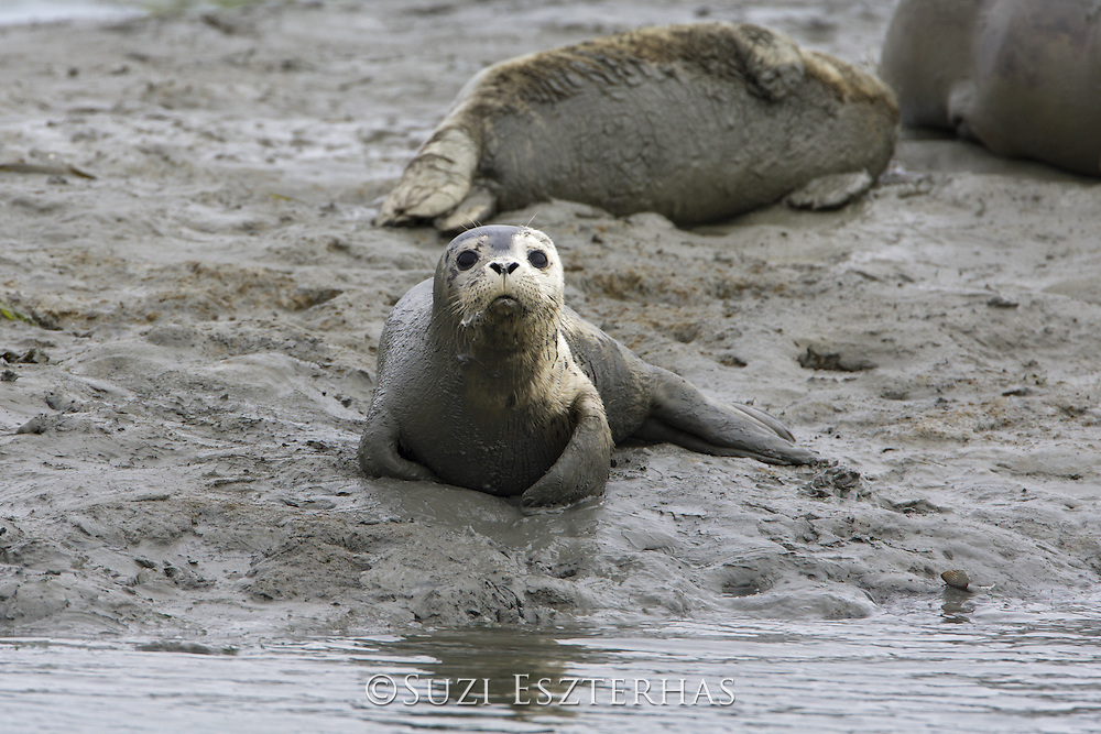 Harbor Seal<br /> Phoca vitulina<br /> 1- 2 week old pup<br /> Monterey Bay, CA